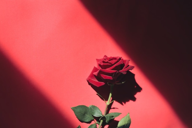 Red rose on a red background