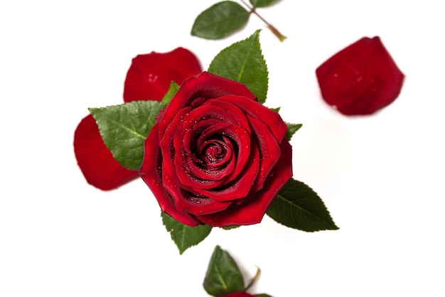 Red rose and rose petals isolated on white