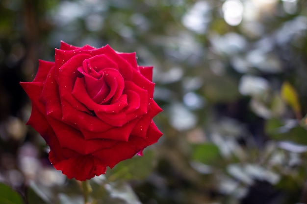 Red rose the symbol of love and valentine