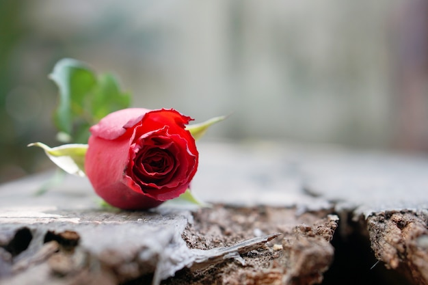 Red rose on timber, icon of love