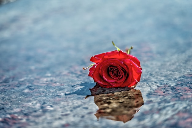Red rose on the wet marble floor.