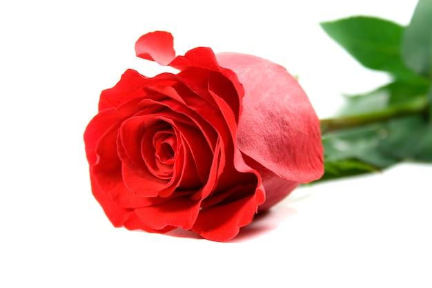 Red rose on white backround