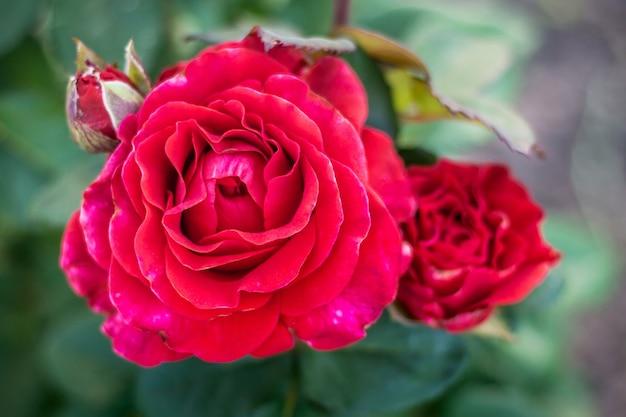 정원에서 꽃 봉 오리와 붉은 장미 가까이 up_