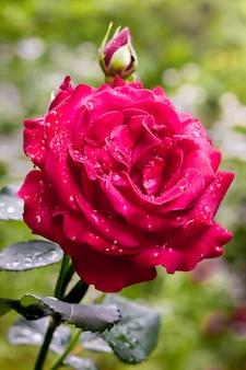 Красная роза с каплями дождя в саду на зеленом размытом фоне