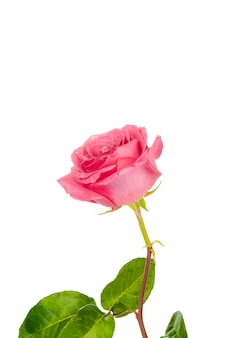Red rose with green leaves isolated on white