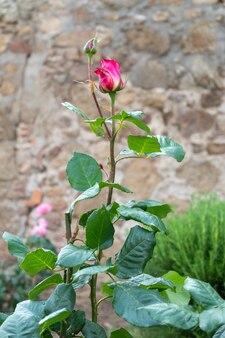 花びらが孤立した赤いバラ
