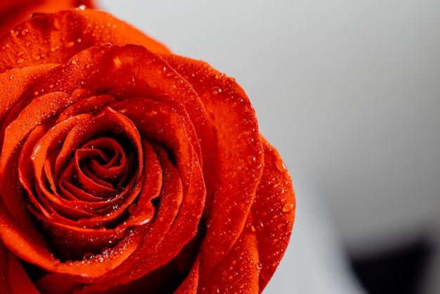 Red rose with sparkling water wallpaper