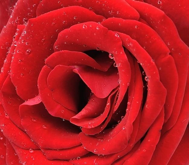 물 방울과 붉은 장미