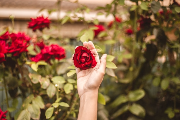 Red rose in the yard with one hand