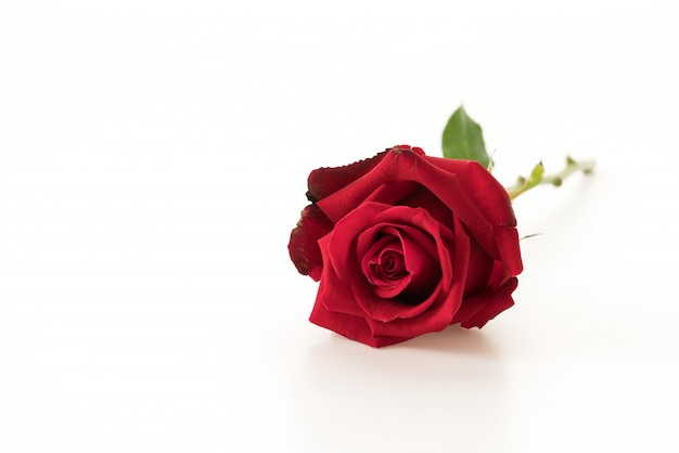 붉은 장미