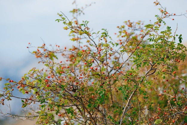 低木の枝に赤いローズヒップベリー