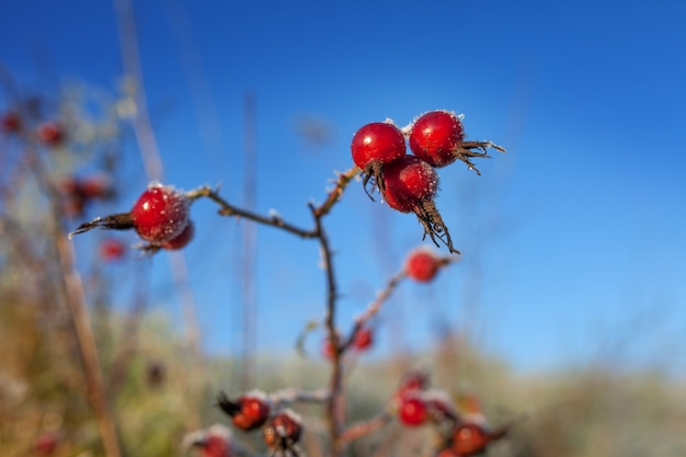 Red rosehip berries with frost. a wild rose shrub with frost and a blue sky in the background. first frost in autumn.