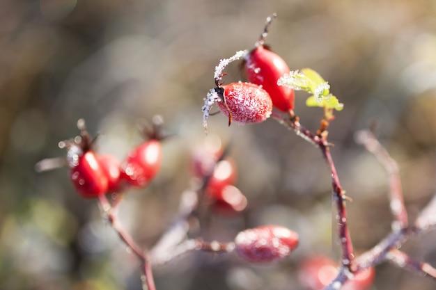 雪と赤いローズヒップの果実。霜が降る野バラの低木。秋に初霜。 dogroseの枝に霜。