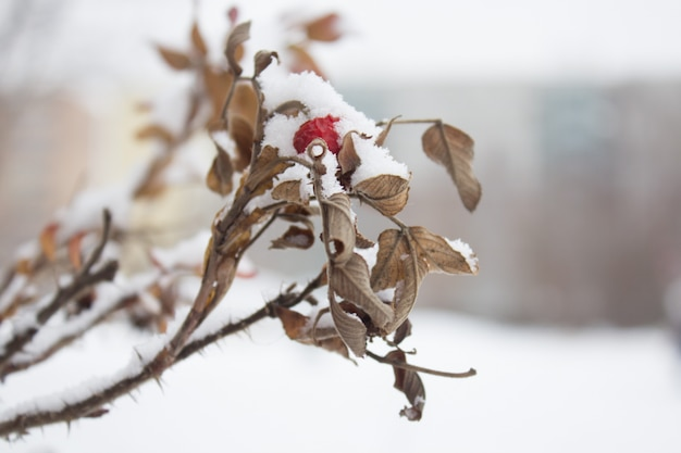 Red rosehip berry covered with snow in winter outdoors, close up wild rose