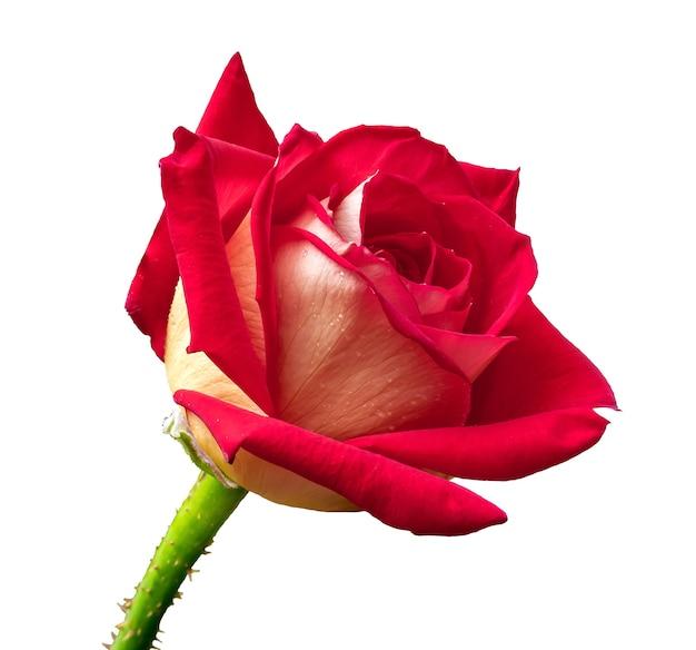 Красный roseon на белом фоне изолированных