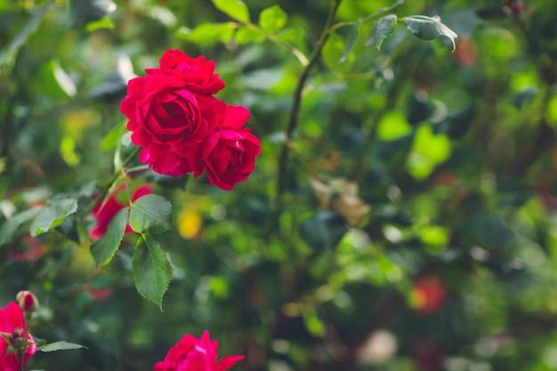 夏の庭に咲く赤いバラ