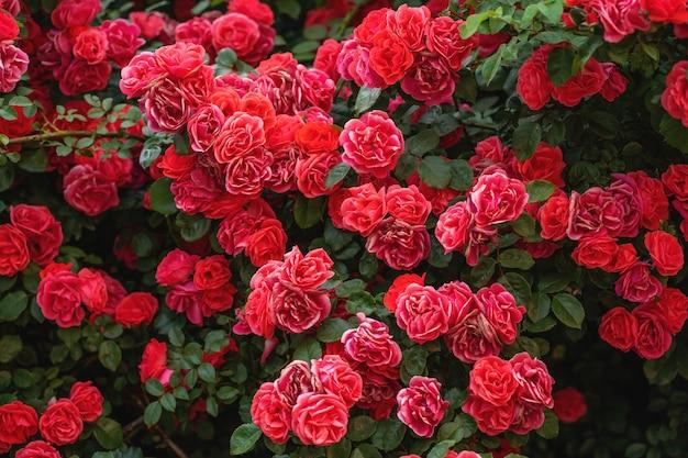 빨간 장미 덤불