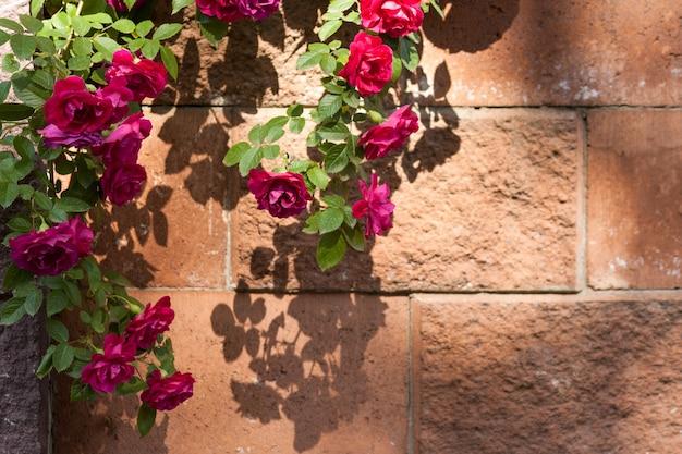 Кусты красных роз, растущие старый забор, копия пространства. старинный фон каменной стеной.