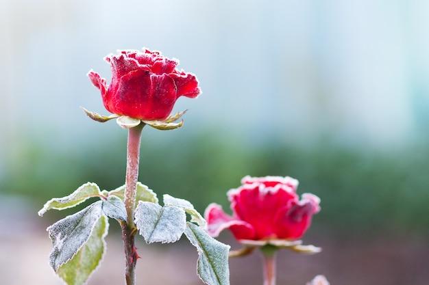 ぼやけた白い霜で覆われた赤いバラ