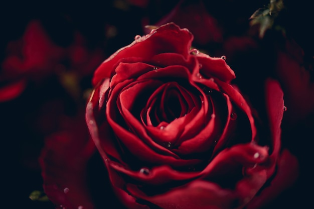 Red roses flower bouquet on dark background / close up fresh natural rose background flowers romantic love valentine day