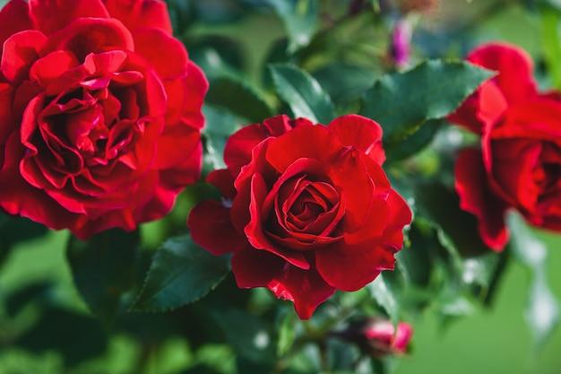 Красные розы цветут в саду