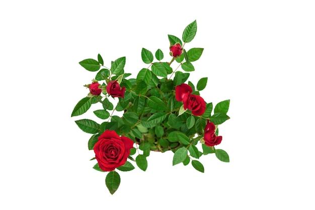 白い背景で隔離の鍋に赤いバラ。