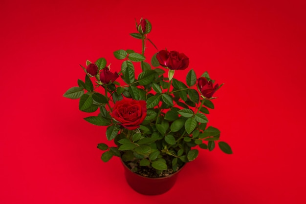 Красные розы в горшке на красном фоне. скопируйте пространство.