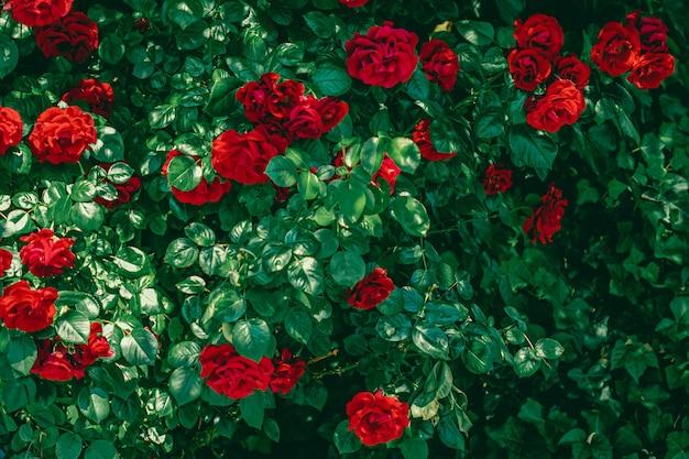 花の背景として美しい花の庭の赤いバラ