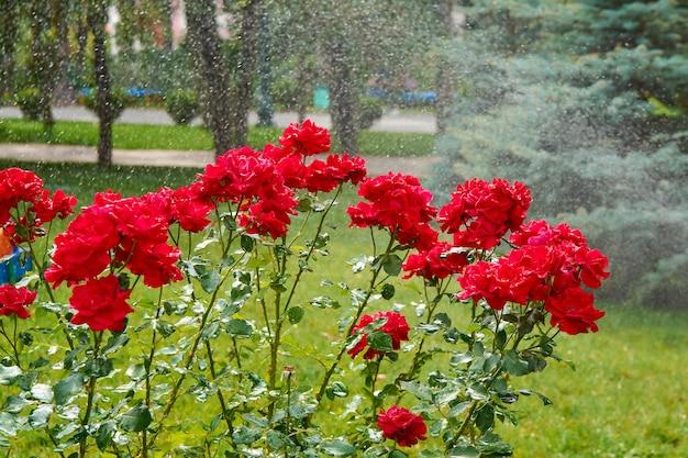 물 스프레이에 빨간 장미