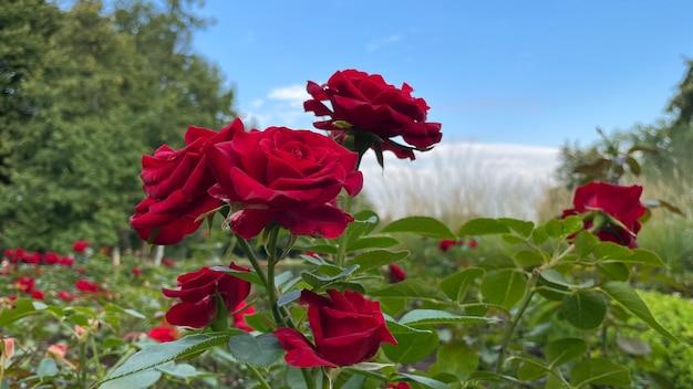 푸른 하늘 배경에 빨간 장미