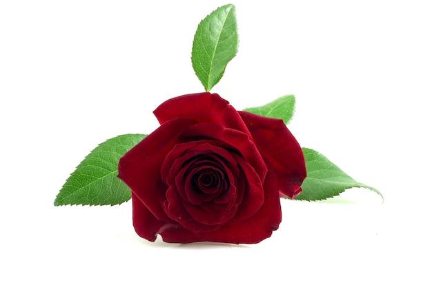 Красные розы на белом фоне с зелеными листьями