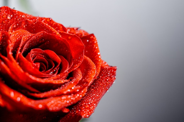 Red roses with sparkling water wallpaper.