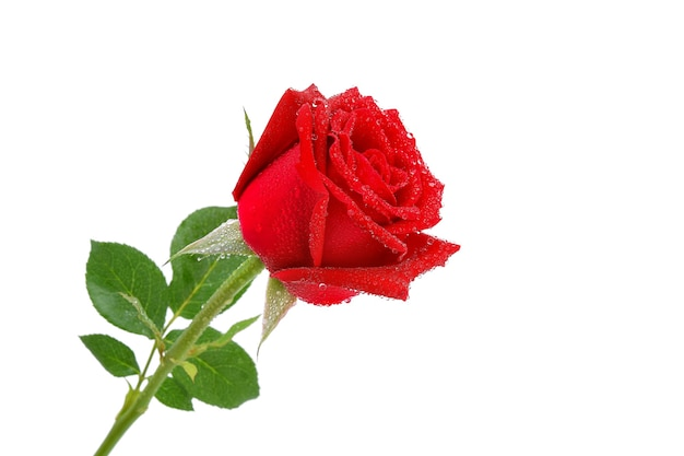 Red roses with water droplets isolated.