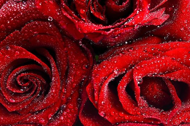 물 방울 배경으로 빨간 장미