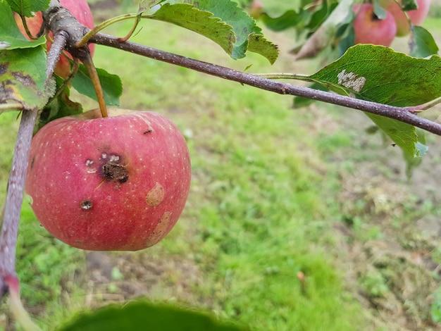 В саду на ветке висят красные гнилые яблоки на дереве висит съеденное паразитами яблоко