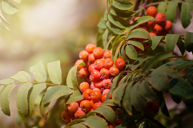 Red rowan berries on a branch. ripe mountain ash. fall seasonal background.