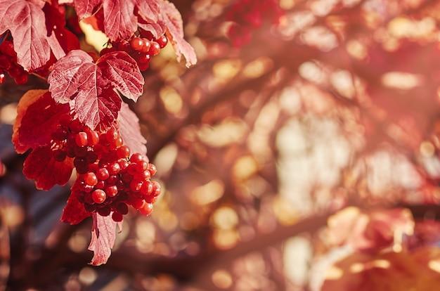 Ягоды красной рябины на ветке с листьями осенью