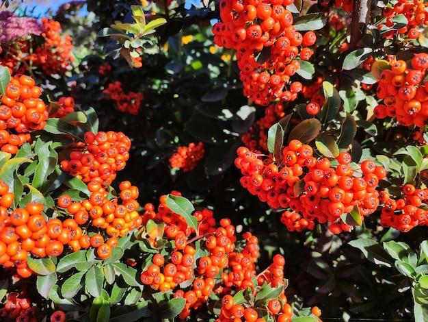 ナナカマド植物の枝に赤いナナカマドの果実