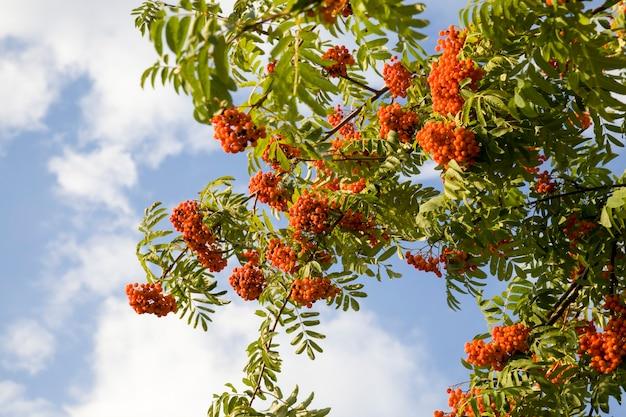 Ягоды красной рябины на деревьях в осеннее время года, изменения на деревьях и на природе