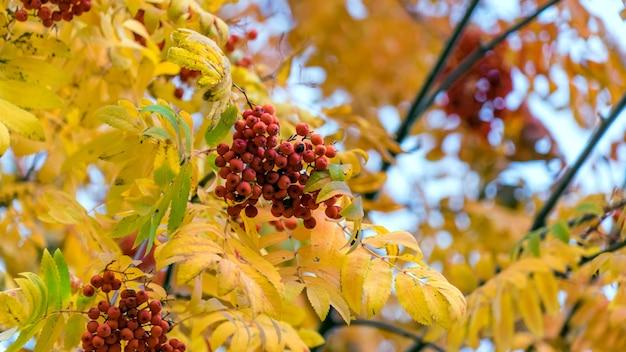 晴れた秋の日の木の上の赤いナナカマド、モスクワ、赤の広場。