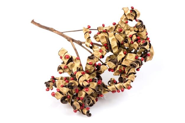 Красное сандаловое дерево, сандаловое дерево, бусовое дерево, коралловое дерево или плоды аденантеры павонина, изолированные на белом.