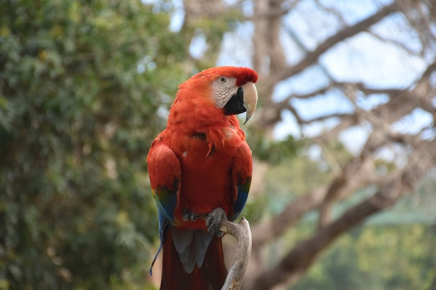 Red scarlet macaw with a hooked beak on a branch.