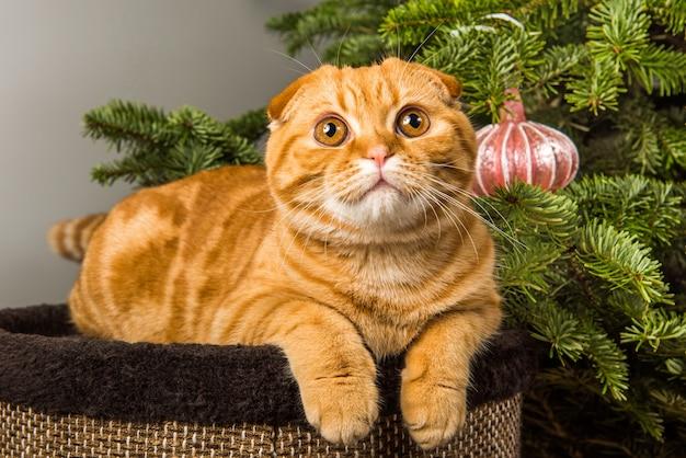 Рыжий шотландский вислоухий кот сидит возле елки