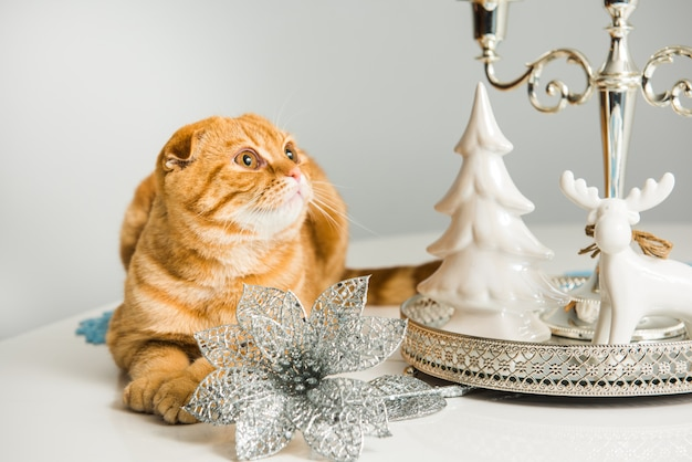 Red scottish fold cat with candlestick on holiday