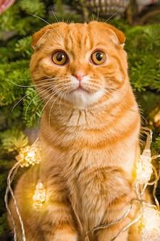 Рыжий шотландский вислоухий рыжий кот крупным планом возле елки в свете