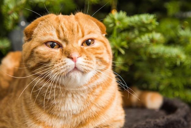 Рыжий шотландский вислоухий рыжий кот сидит возле елки