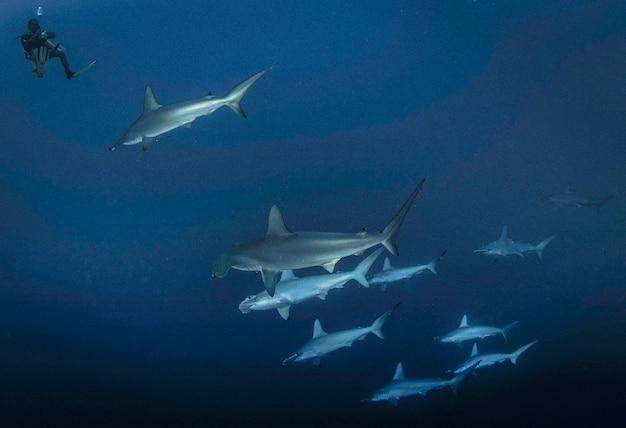 紅海、アフリカ2015年10月:ヒラシュモクザメ。紅海で泳ぐシュモクザメの学校。野生のサメ。青い海の水中の海洋生物。観察動物の世界。スキューバダイビングの冒険