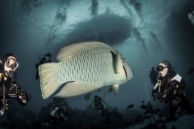 Красное море, африка, октябрь 2015: рыба-наполеон или рыба-горбун (cheilinus undulatus) под водой в океане. морская жизнь под водой в голубом океане. наблюдение за животным миром. подводное плавание с аквалангом