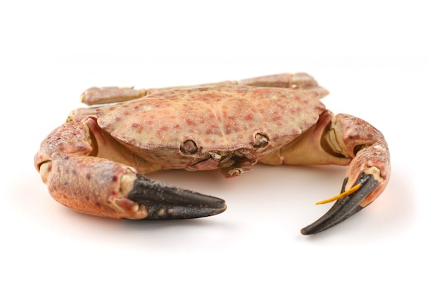 Red sea crab on a white surface