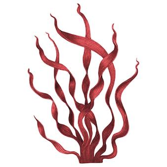 Красные водоросли, изолированные на белом. акварель рисованной окрашенные иллюстрации.
